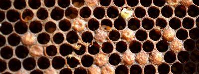 colmena con varroa