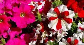 plantines-florales-petunias-maceta-n12-10u-260-D_NQ_NP_13643-MLA3082250423_082012-O