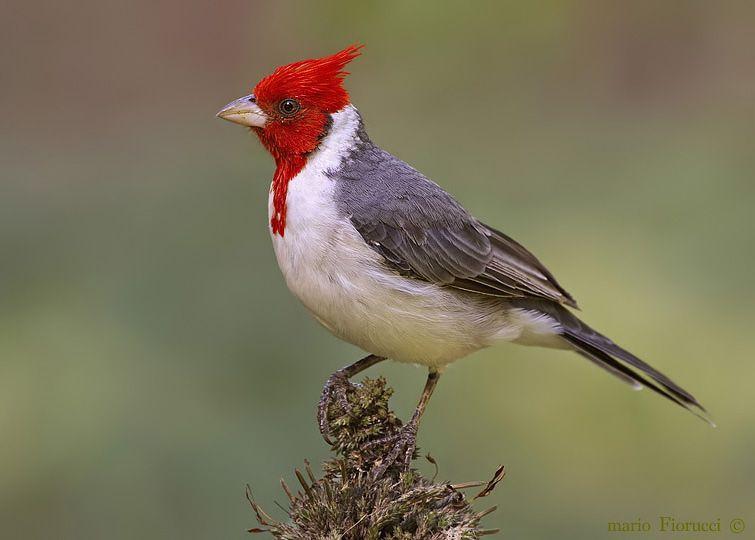 Cardenal común [ Reserva Natural Educativa Montecito de